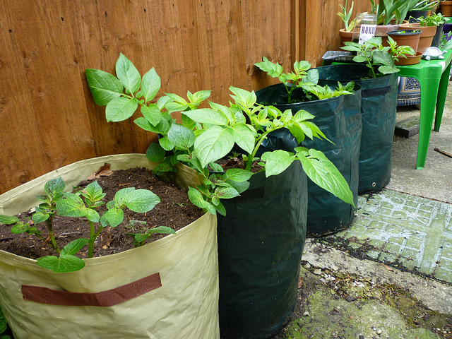 Grow-bags-with-potatoes1