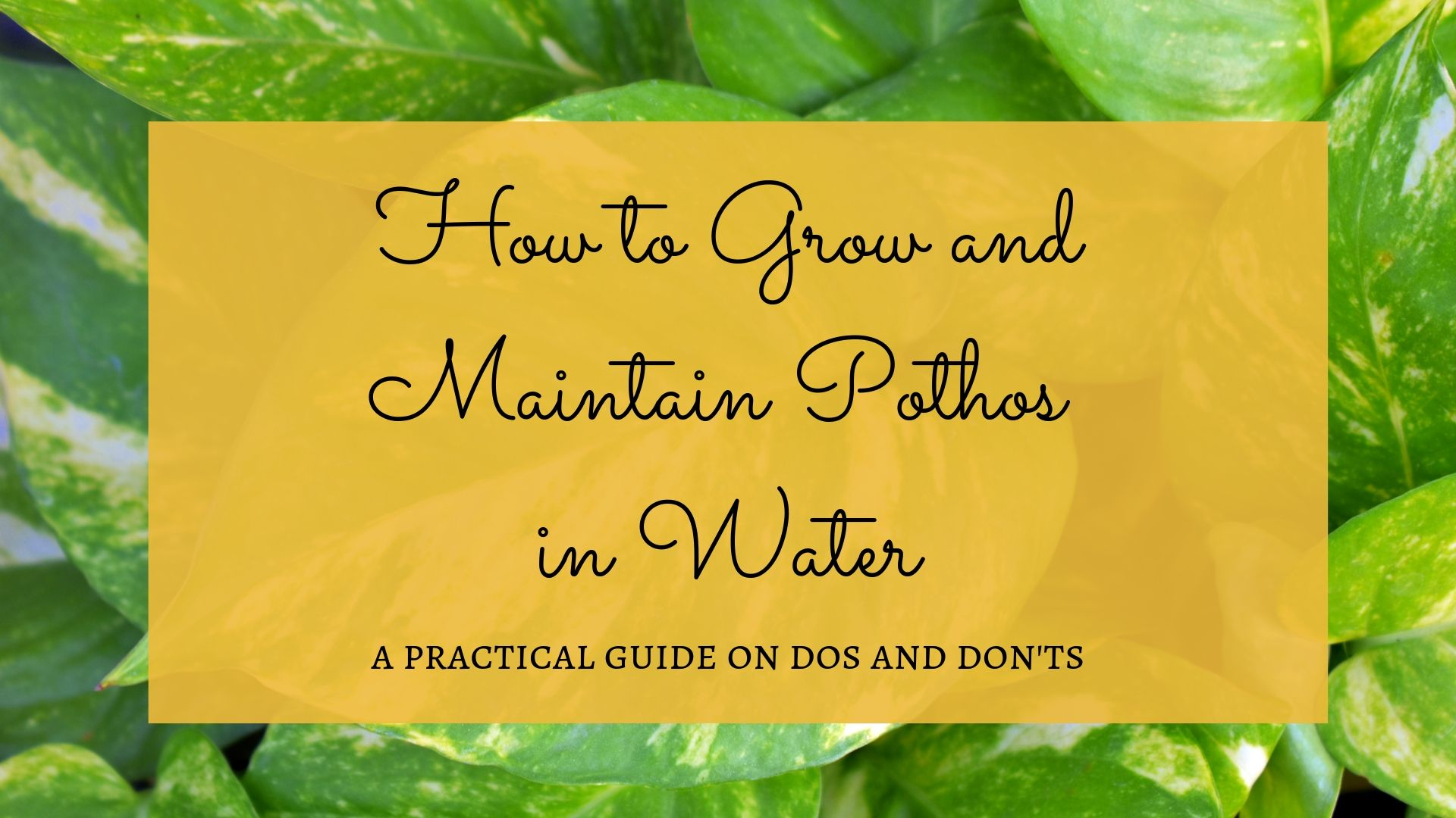 How to grow and Maintain Pothos in Water? A practical guide on Dos and Don'ts