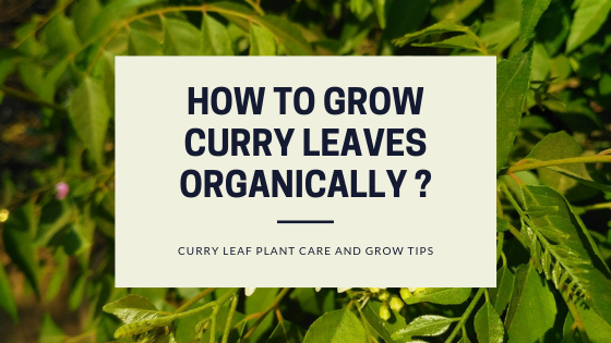 How to Grow Curry Leaves Organically?
