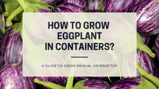 How to grow Eggplant in containers? A guide to grow brinjal on rooftop