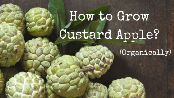 How To Grow custard apples - Organically