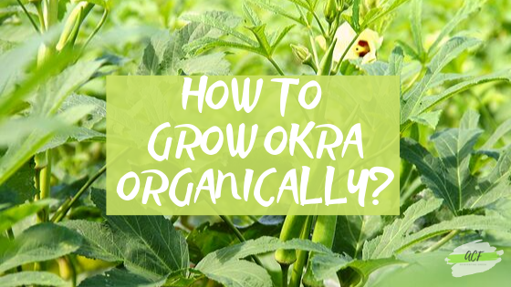 How to grow Okra Organically