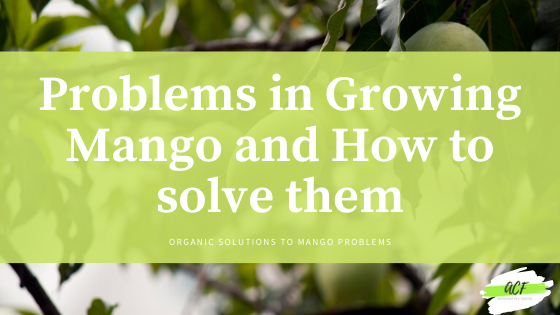 Problems in growing Mango and how to solve them