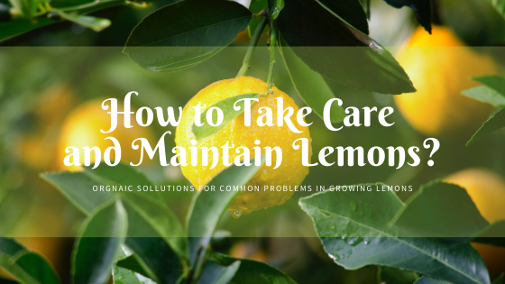How to take care and maintain Lemons?